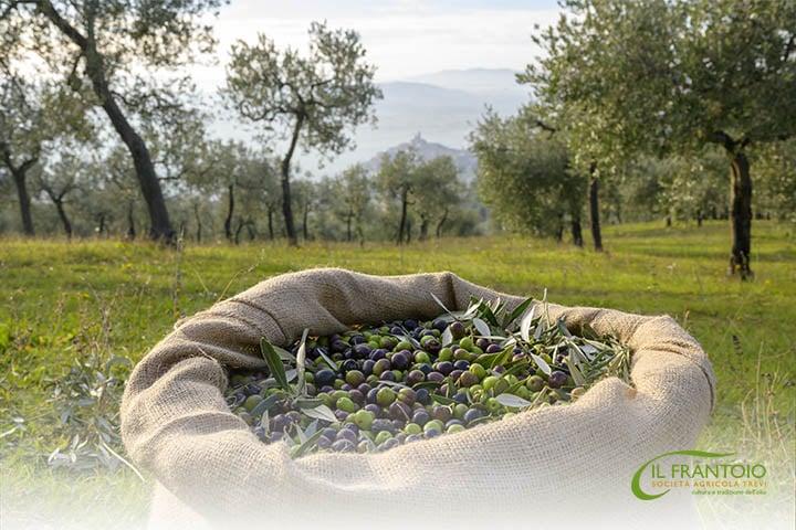 olive-s