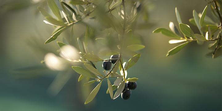 Olio d'oliva e olio EVO: quale dovresti scegliere e perché